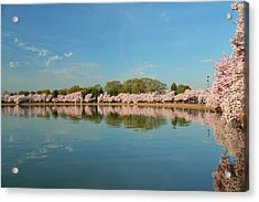 Cherry Blossoms 2013 - 026 Acrylic Print by Metro DC Photography