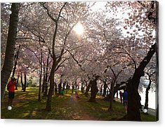 Cherry Blossoms 2013 - 027 Acrylic Print by Metro DC Photography