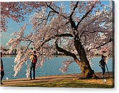 Cherry Blossoms 2013 - 028 Acrylic Print