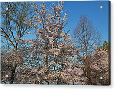 Cherry Blossoms 2013 - 033 Acrylic Print by Metro DC Photography