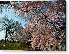 Cherry Blossoms 2013 - 038 Acrylic Print by Metro DC Photography