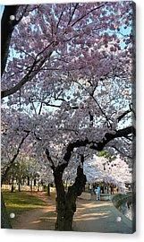 Cherry Blossoms 2013 - 044 Acrylic Print