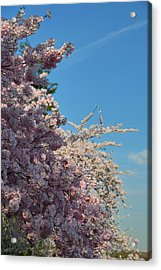 Cherry Blossoms 2013 - 046 Acrylic Print by Metro DC Photography
