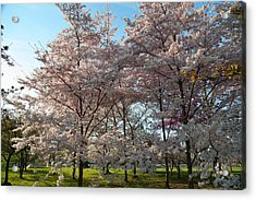 Cherry Blossoms 2013 - 049 Acrylic Print by Metro DC Photography