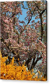 Cherry Blossoms 2013 - 051 Acrylic Print by Metro DC Photography
