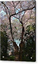 Cherry Blossoms 2013 - 056 Acrylic Print