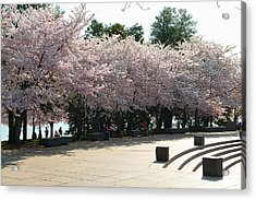 Cherry Blossoms 2013 - 059 Acrylic Print by Metro DC Photography