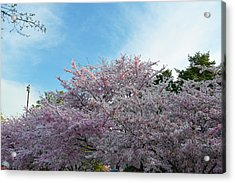 Cherry Blossoms 2013 - 070 Acrylic Print by Metro DC Photography