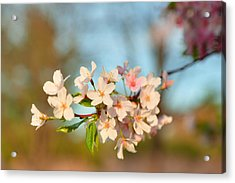 Cherry Blossoms 2013 - 073 Acrylic Print by Metro DC Photography