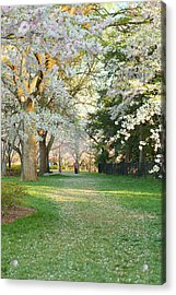Cherry Blossoms 2013 - 075 Acrylic Print by Metro DC Photography