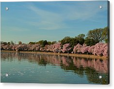 Cherry Blossoms 2013 - 088 Acrylic Print by Metro DC Photography