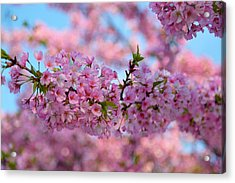 Cherry Blossoms 2013 - 095 Acrylic Print by Metro DC Photography