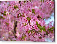 Cherry Blossoms 2013 - 096 Acrylic Print by Metro DC Photography