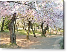 Cherry Blossoms 2013 - 099 Acrylic Print by Metro DC Photography