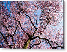 Cherry Blossoms All Over Acrylic Print