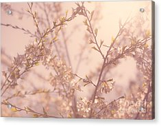 Cherry Blossoms Acrylic Print by Diane Diederich
