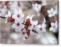 Cherry Blossoms Acrylic Print by Hannes Cmarits