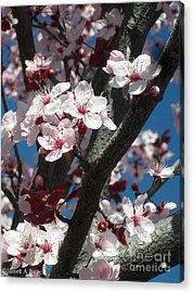 Cherry Blossoms Acrylic Print by Janet Berch