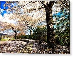 Cherry Blossoms Acrylic Print by Nancy Harrison