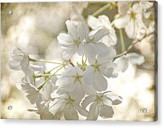 Cherry Blossoms Acrylic Print by Peggy Hughes