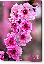 Cherry Blossoms Acrylic Print by Robert Bales