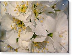 Cherry Blossoms  Acrylic Print by Tamara Bettencourt