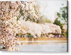 Acrylic Print featuring the photograph Cherry Blossoms In Washington Dc by Vizual Studio