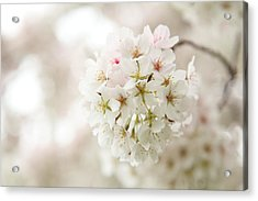 Cherry Blossoms - Washington Dc - 0113101 Acrylic Print by DC Photographer