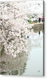 Cherry Blossoms - Washington Dc - 0113104 Acrylic Print by DC Photographer