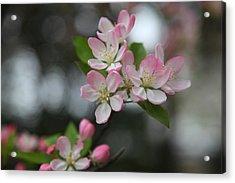 Cherry Blossoms - Washington Dc - 0113110 Acrylic Print by DC Photographer