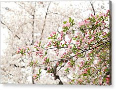 Cherry Blossoms - Washington Dc - 0113112 Acrylic Print by DC Photographer