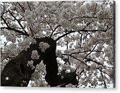 Cherry Blossoms - Washington Dc - 0113114 Acrylic Print by DC Photographer