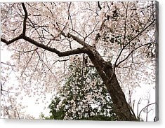 Cherry Blossoms - Washington Dc - 0113115 Acrylic Print by DC Photographer