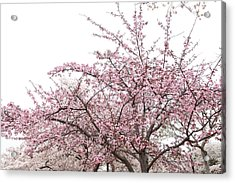 Cherry Blossoms - Washington Dc - 0113123 Acrylic Print by DC Photographer