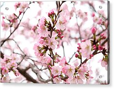Cherry Blossoms - Washington Dc - 0113124 Acrylic Print by DC Photographer