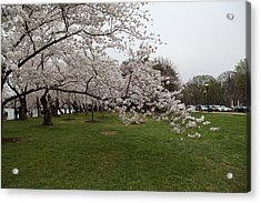 Cherry Blossoms - Washington Dc - 0113130 Acrylic Print by DC Photographer