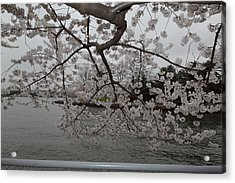 Cherry Blossoms - Washington Dc - 0113134 Acrylic Print by DC Photographer