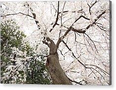 Cherry Blossoms - Washington Dc - 0113136 Acrylic Print by DC Photographer