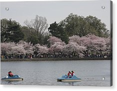 Cherry Blossoms - Washington Dc - 011315 Acrylic Print by DC Photographer