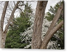 Cherry Blossoms - Washington Dc - 011352 Acrylic Print by DC Photographer