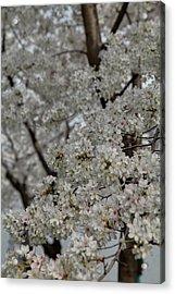 Cherry Blossoms - Washington Dc - 011358 Acrylic Print