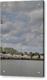 Cherry Blossoms - Washington Dc - 011365 Acrylic Print by DC Photographer