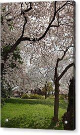 Cherry Blossoms - Washington Dc - 011369 Acrylic Print by DC Photographer