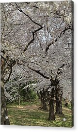 Cherry Blossoms - Washington Dc - 011374 Acrylic Print by DC Photographer