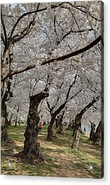 Cherry Blossoms - Washington Dc - 011376 Acrylic Print by DC Photographer