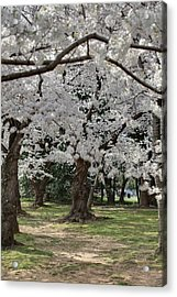 Cherry Blossoms - Washington Dc - 011383 Acrylic Print by DC Photographer