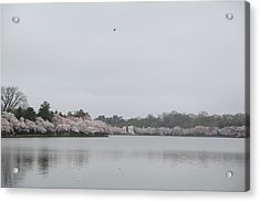 Cherry Blossoms - Washington Dc - 011397 Acrylic Print by DC Photographer