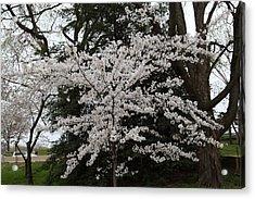 Cherry Blossoms - Washington Dc - 011398 Acrylic Print