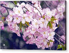 Cherry Blossoms  Washington D.c. Tidal Basin Acrylic Print