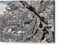 Cherry Blossoms With Jefferson Memorial - Washington Dc - 011333 Acrylic Print